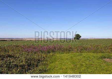 a flowering potato crop in the yorkshire wolds with rosebay willowherb wildflowers under a clear blue sky in the yorkshire wolds in summer