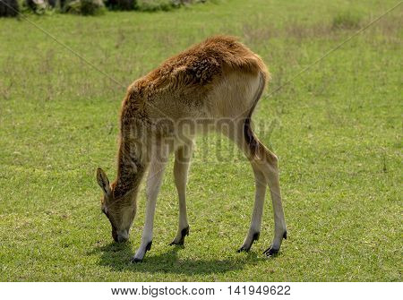 small deer grazed in a meadow . close up