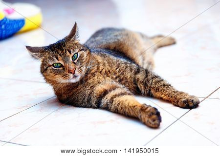 beautiful stripped cat lying down on a marmor floor. Eye contact