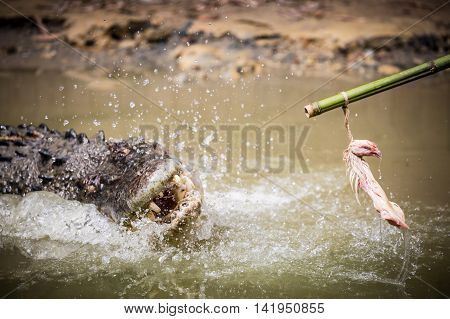 A crocodile attacks bait on a pole in a display in Queensland, Australia