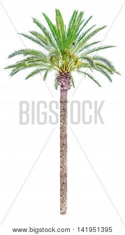 High date palm tree isolated on white background.