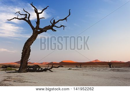 Trees and red dunes in the Dead Vlei Sossusvlei Namibia concept for travel in Africa