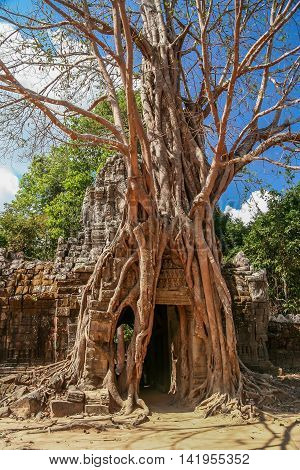 Tree growing on a temple entrance in the Angkor complex in Cambodia