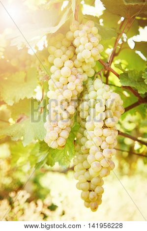 Green grape on vineyard