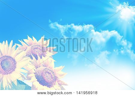 Beautiful sunflower field in summe. blue sky