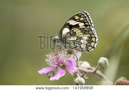 Marbled White butterfly (Melanargia galathea) on pink flower. Profile or side view