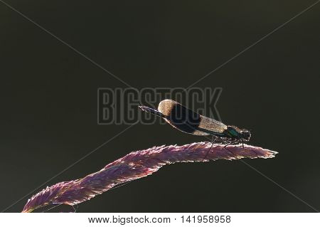 Male Banded Demoiselle damselfly (Calopteryx splendens) perched on a stem. Back lit.