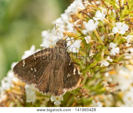 Confused Cloudywing butterfly feeding on white Butterflybush flowers