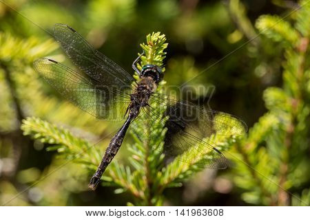 Brush-tipped Emerald Dragonfly hanging from a branch in Door County Wisconsin.