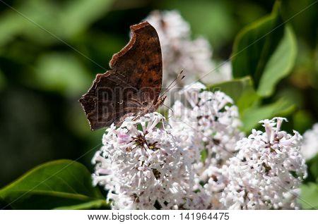 Question Mark Butterfly Polygonia interrogationis feeding on nectar from a flowring bush.