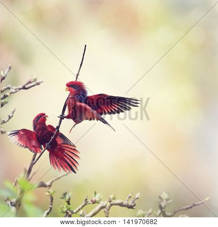 Two Blue-streaked Lory Parrots fighting