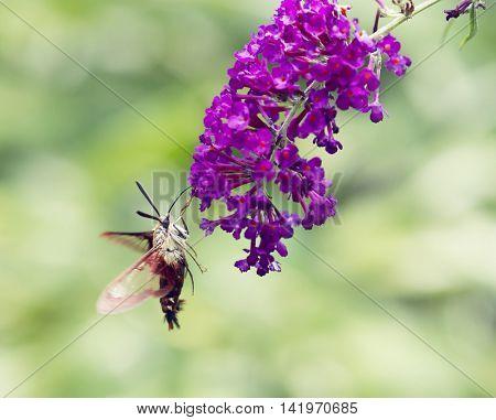 Hummingbird Moth feeds on butterfly bush