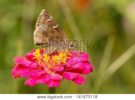 Southern Cloudywing butterfly feeding on a pink Zinnia flower
