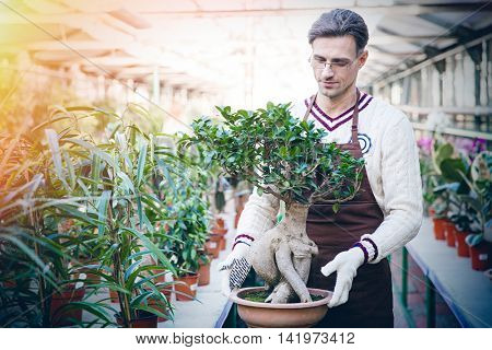Handsome man gardener in brown apron and garden gloves holding bonsai tree in pot in greenhouse