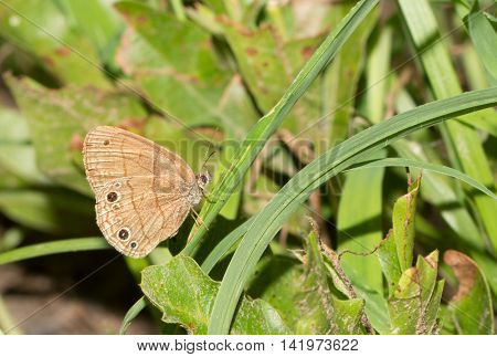Tiny Carolina Satyr butterfly resting on a blade of grass in a sunny spot in forest