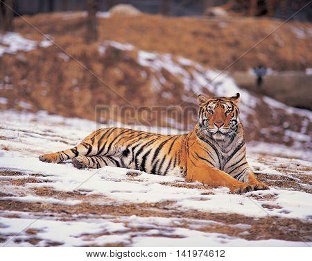 Tiger resting in a  winter field