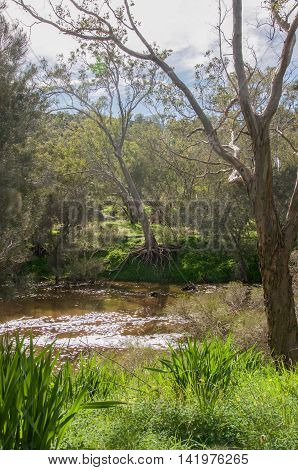 Lush riverbank with large tree root system and flowing waters at the Bell Rapids in the Swan Valley in Western Australia.