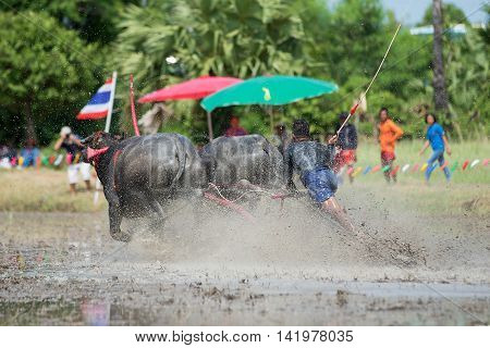 Buffalo tradition as reflected in Chonburi province is one of the unique traditions of the province of chon buri which was held for more than 100 years.