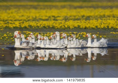 Flock of white domestic geese swiming on the lake