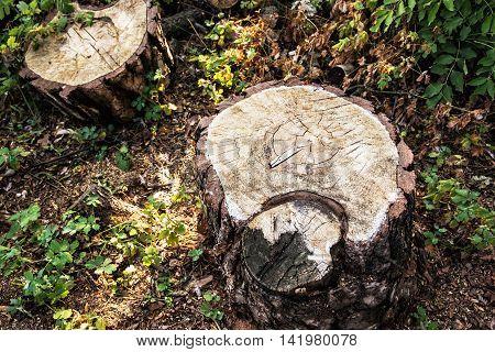Detail of tree stumps. Deforestation problem. Environmental theme. Natural scene.
