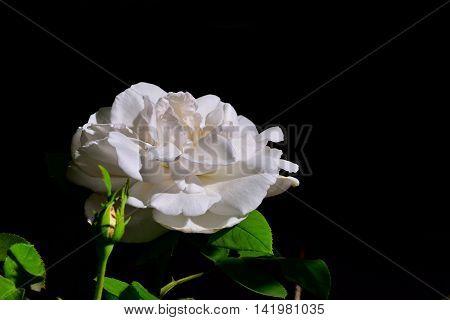 Flash-illuminated white rose blooms on black background.
