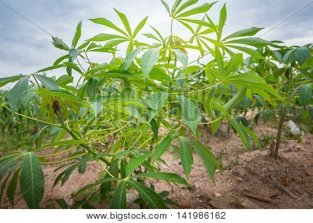 Cassava plants grown in tropical areas of Thailand