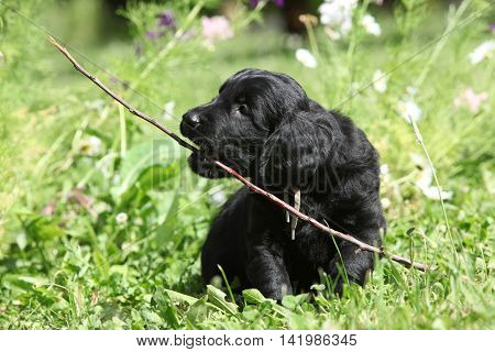 Beautiful Puppy Of Flat Coated Retriever