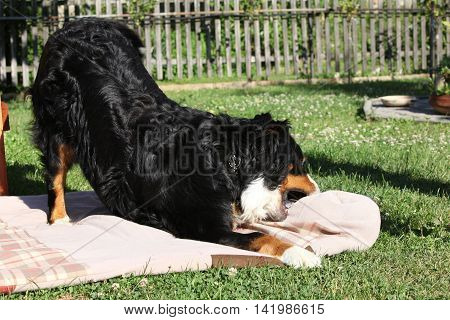 Nice Bernesse Mountain Dog Playing On Blanket