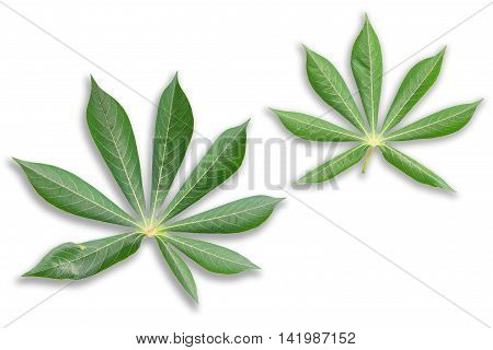 Green Cassava leaves with shadow on white background