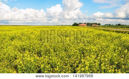Dutch polder landscape with a large field of yellow blossoming rapeseed plants a road and a farm in the background. It's a sunny day in the summer season.