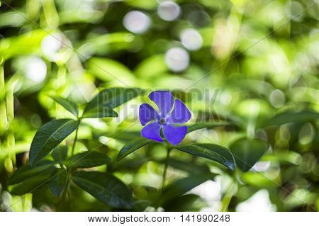 close-up single blue blossoming periwinkle at the forest