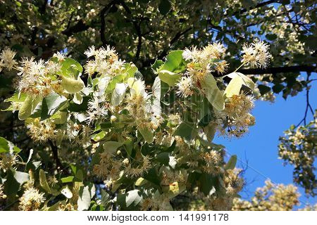 Detail Of Basswood Flowers