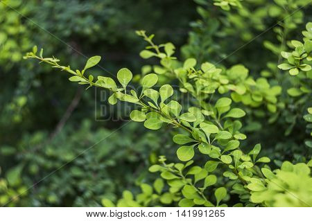 close-up branch of barberry bush with green berries