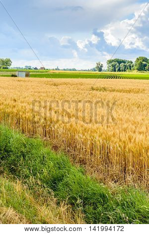 Vertical image of a landscape in the Netherlands with a green grass verge and a yellow cornfield in the foreground. It has just rained and a few drops of water are on the grass.