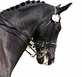 stock photo of horse head  - A close up head shot of a horse in a dressage competition. Taken at The Horse of the Year 2007 in Hastings New Zealand Pic is isolated on white with a clipping path.