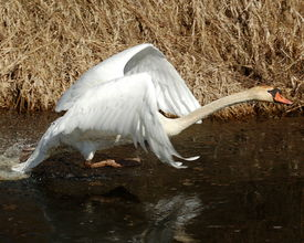 stock photo of honkers  - A mute swan appears to be walking on water as it prepares to fly - JPG