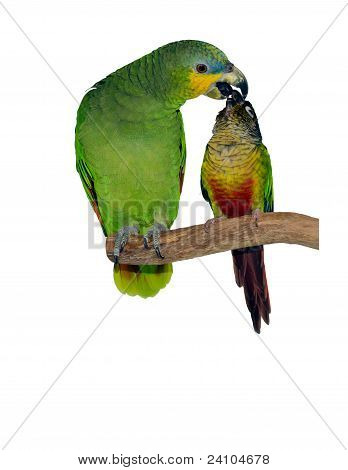 Two parrots kissing on a perch