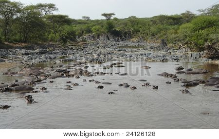 Flock Of Hippos In A River