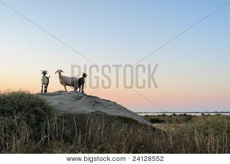 Goats At Evening Time