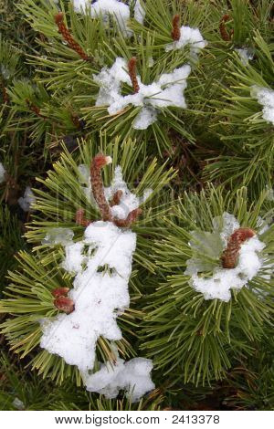Fresh Snow On Pine Needles