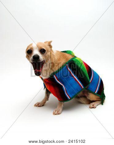 Chihuahua Yawn