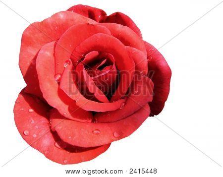 Rote Rose isoliert auf weiss
