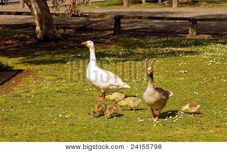 meet the greylags