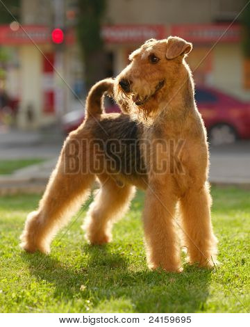 Grown-up Airedale Terrier Set To A Point Outdoors On A Green Lawn