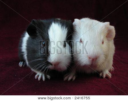 Pair Of Cute Baby Guinea Pigs