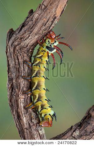 Hickory Horned Devil On Branch