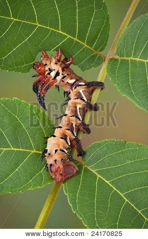 Hickory Horned Devil On Walnut Tree