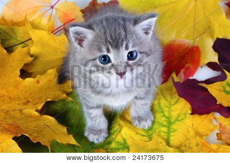Gray Kitty On Yellow Leaves