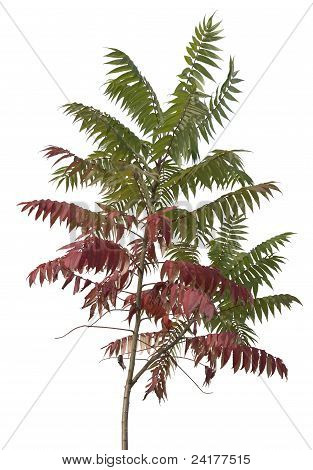 Little Staghorn Sumac Tree