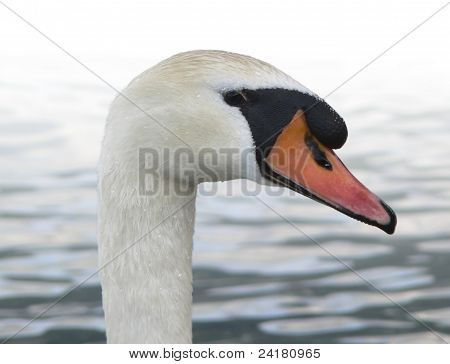 Swan Portrait In Front Of A Lake